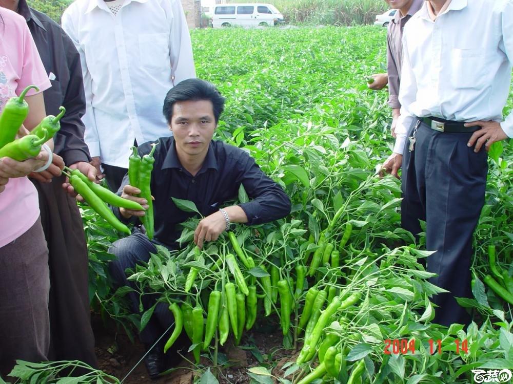 广东省农科院蔬菜研究所福康5号辣椒2004年和2005年在湛江遂溪召开现场展示会_051.jpg