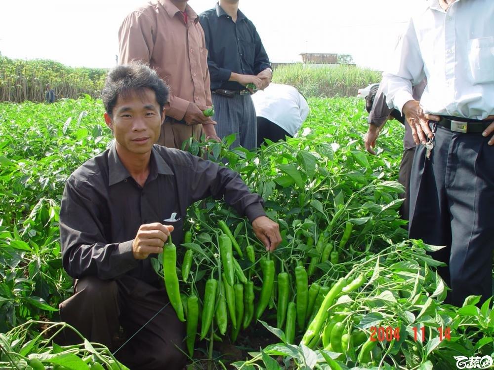 广东省农科院蔬菜研究所福康5号辣椒2004年和2005年在湛江遂溪召开现场展示会_054.jpg