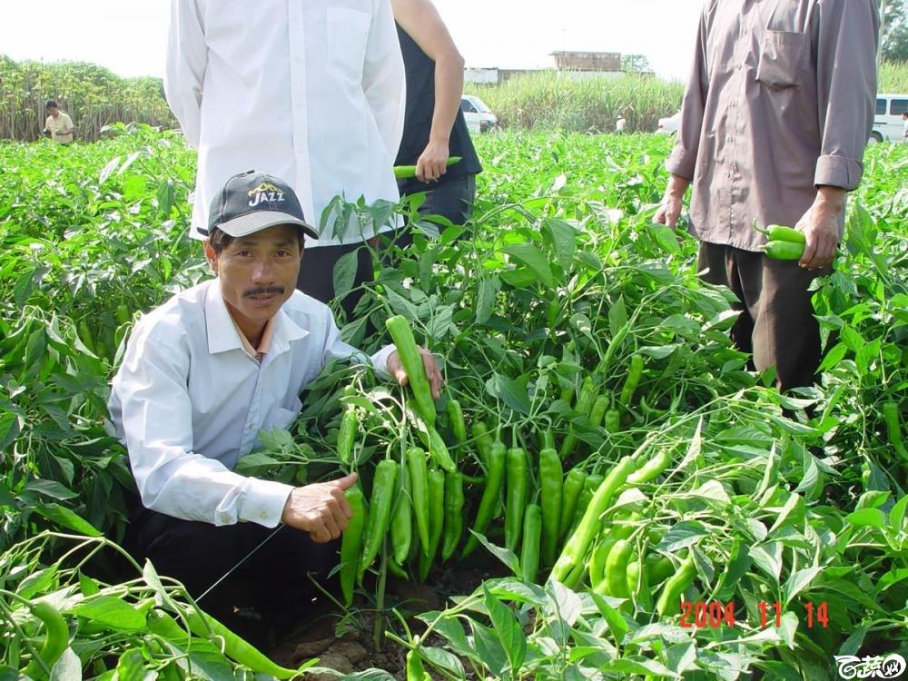 广东省农科院蔬菜研究所福康5号辣椒2004年和2005年在湛江遂溪召开现场展示会_056.jpg