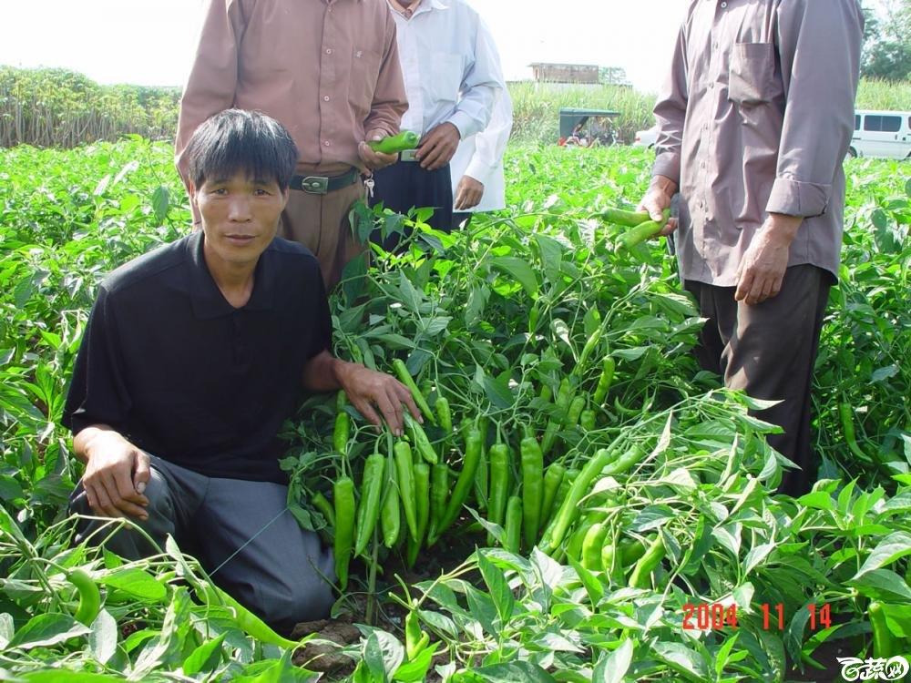 广东省农科院蔬菜研究所福康5号辣椒2004年和2005年在湛江遂溪召开现场展示会_058.jpg