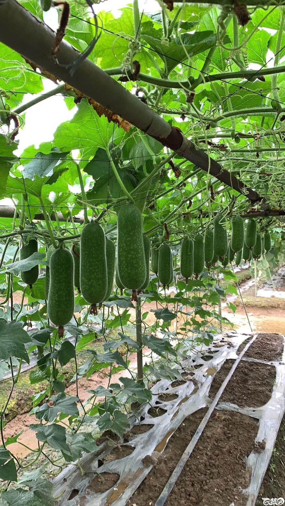 第十七届广州市蔬菜新品种展示推广会,专家重点推介品种,宝玉8121节瓜IMG 6812.JPG