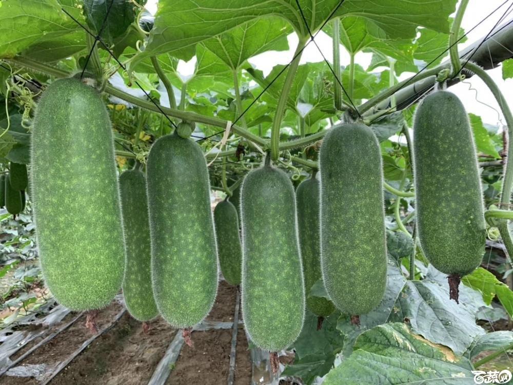 第十七届广州市蔬菜新品种展示推广会,专家重点推介品种,宝玉8121节瓜IMG 6816.JPG