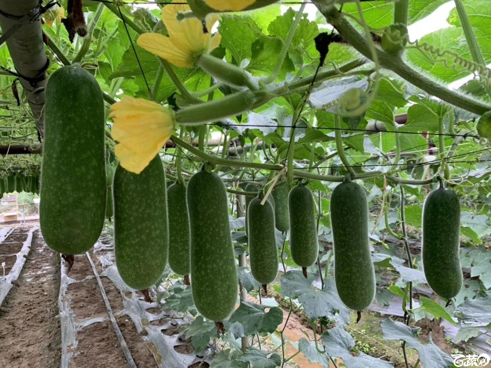 第十七届广州市蔬菜新品种展示推广会,专家重点推介品种,宝玉8121节瓜IMG 6817.JPG