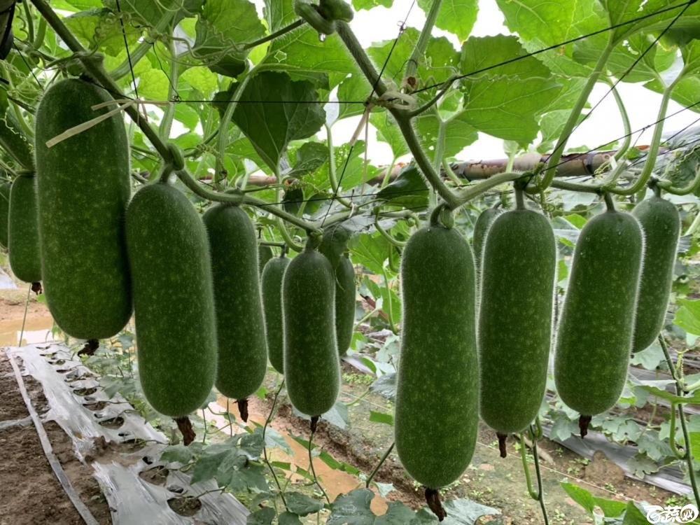 第十七届广州市蔬菜新品种展示推广会,专家重点推介品种,宝玉8121节瓜IMG 6818.JPG