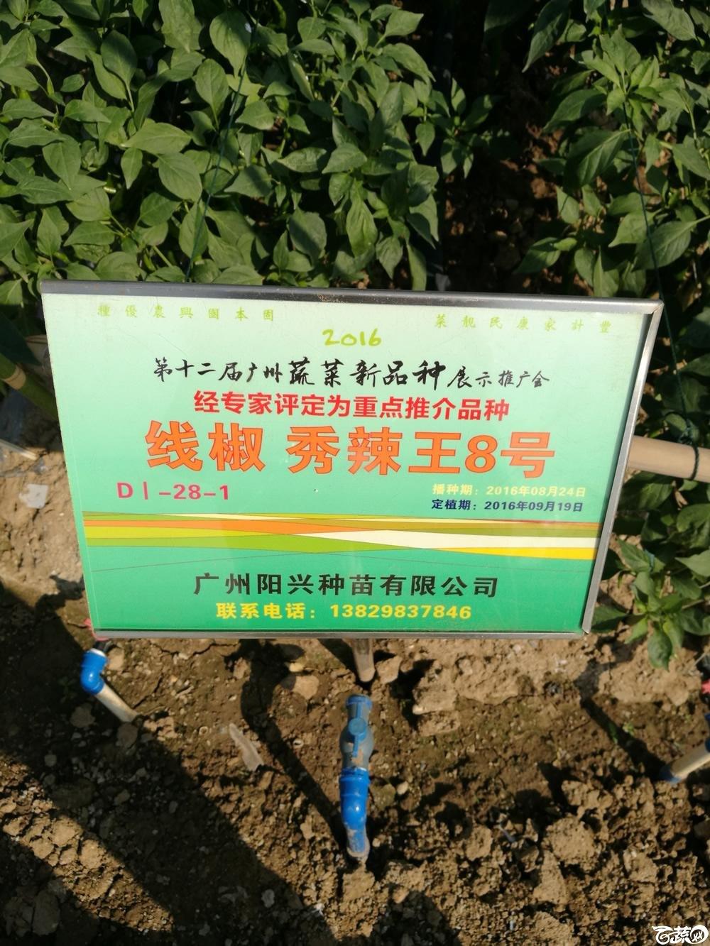 广州阳兴种苗公司秀辣王8号,,第十二届广州蔬菜展示会专家重点推荐品种_001.jpg