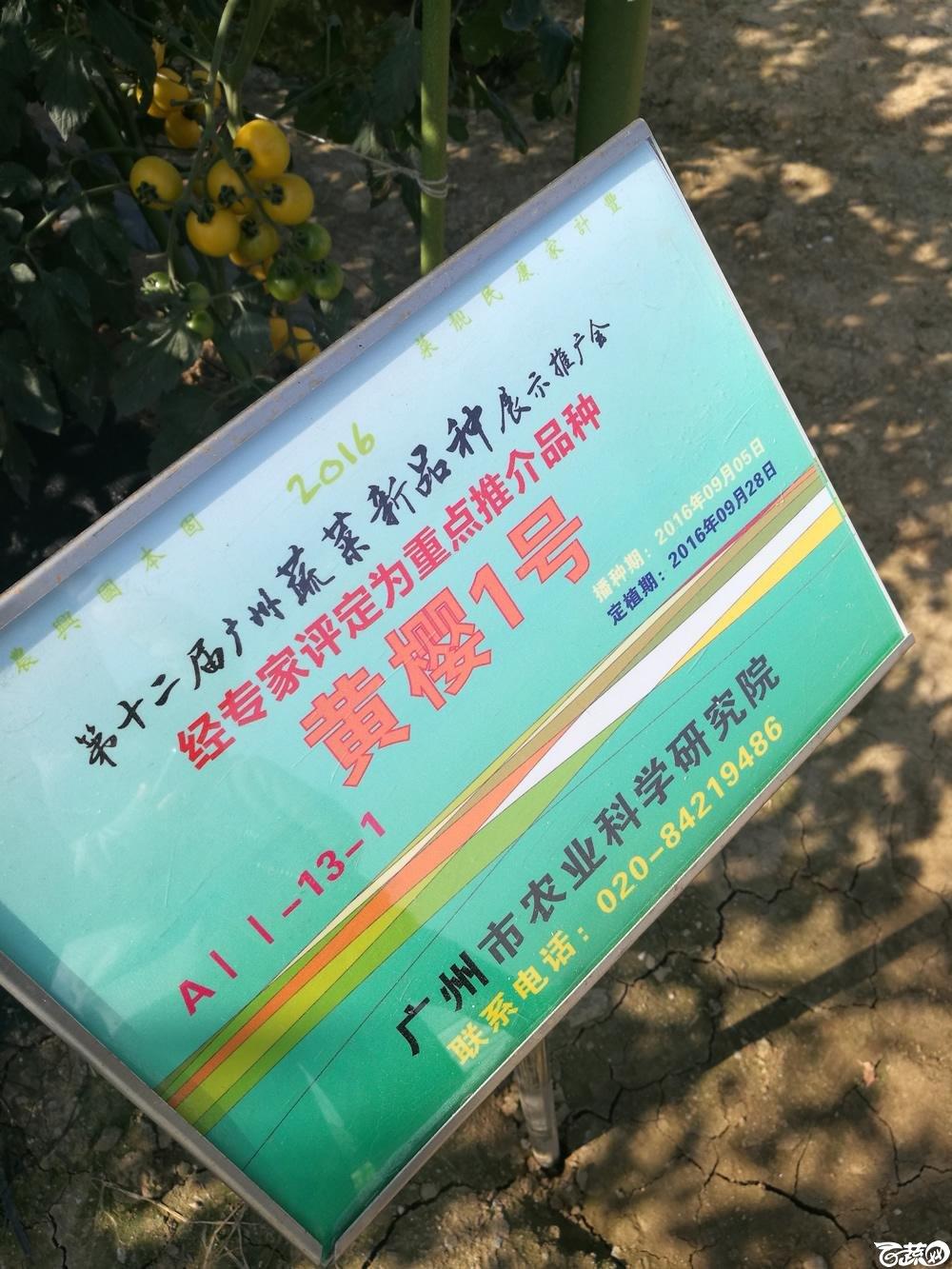 第十二届广州蔬菜展示会专家重点推荐品种,广州市农科院黄樱一号_001.jpg