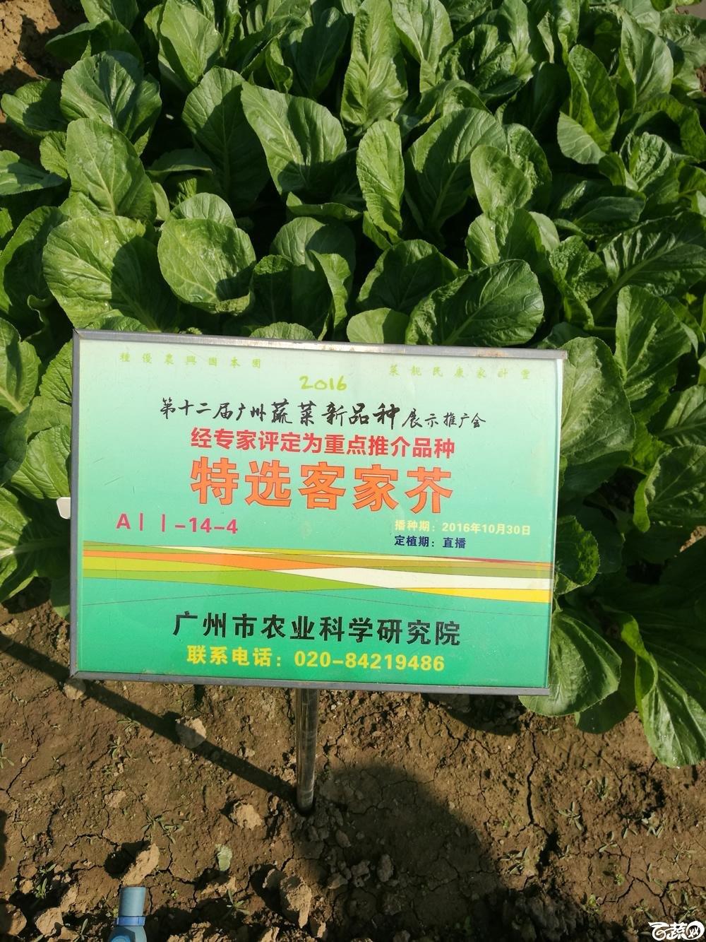 第十二届广州蔬菜展示会专家重点推荐品种,广州市农科院特选客家芥_001.jpg