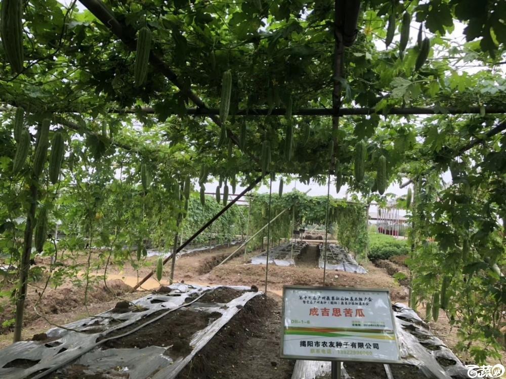第十七届广州市蔬菜新品种展示推广会,揭阳农友种子公司成吉思苦瓜 001.JPG