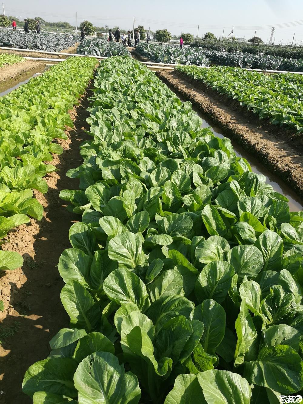 第十二届广州蔬菜展示会专家重点推荐品种,广州市农科院特选客家芥_002.jpg