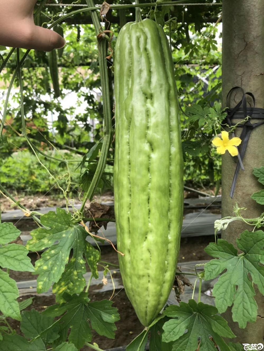 第十七届广州市蔬菜新品种展示推广会,揭阳农友种子公司成吉思苦瓜 003.JPG