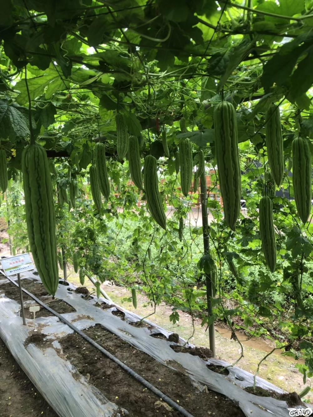 第十七届广州市蔬菜新品种展示推广会,专家重点推介品种,吉星一号苦瓜 003.JPG