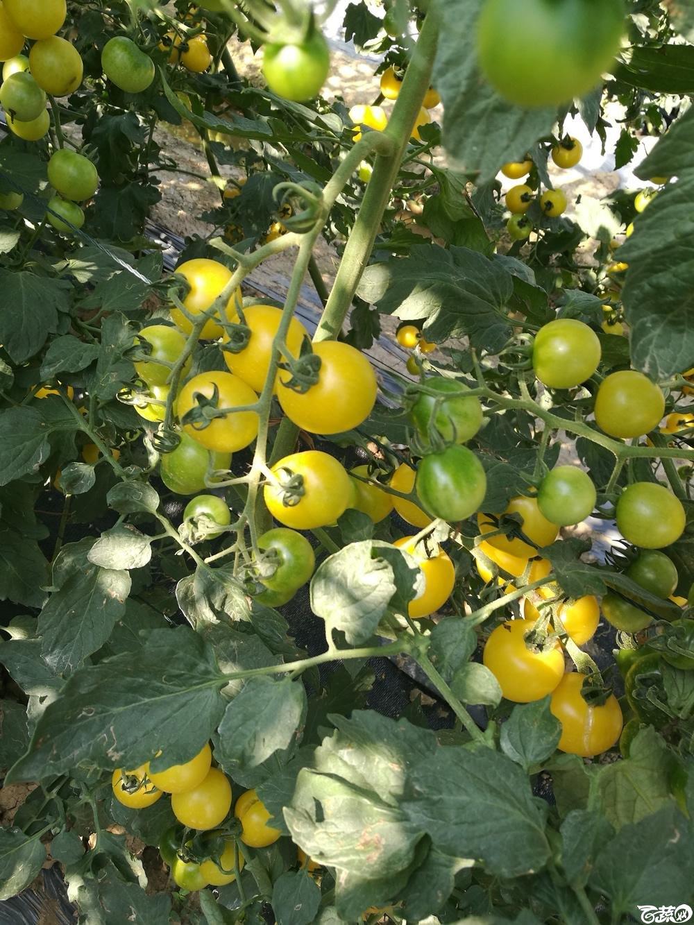 第十二届广州蔬菜展示会专家重点推荐品种,广州市农科院黄樱一号_003.jpg