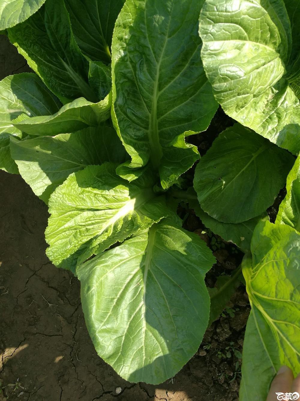 第十二届广州蔬菜展示会专家重点推荐品种,广州市农科院特选客家芥_004.jpg