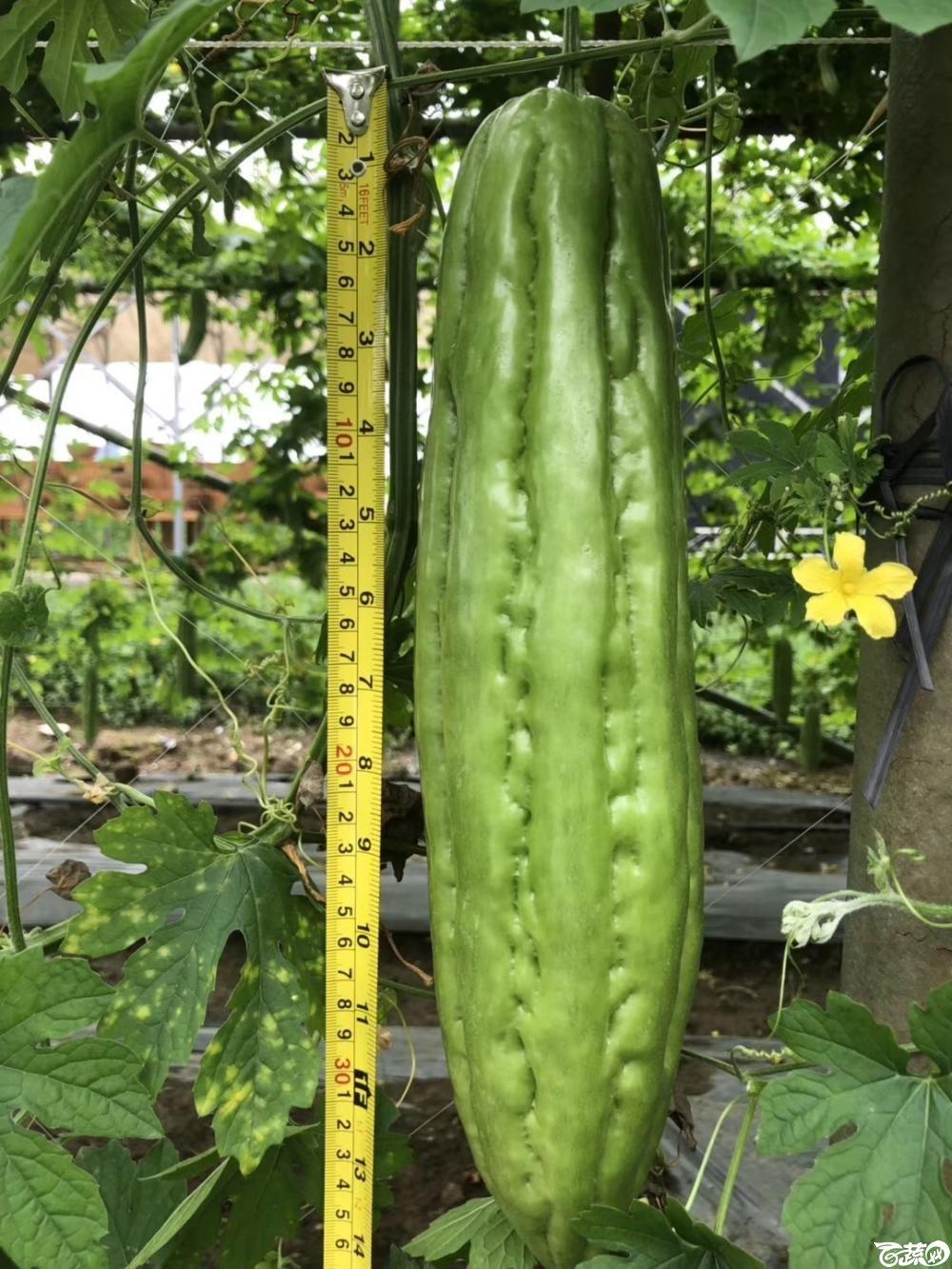 第十七届广州市蔬菜新品种展示推广会,揭阳农友种子公司成吉思苦瓜 004.JPG