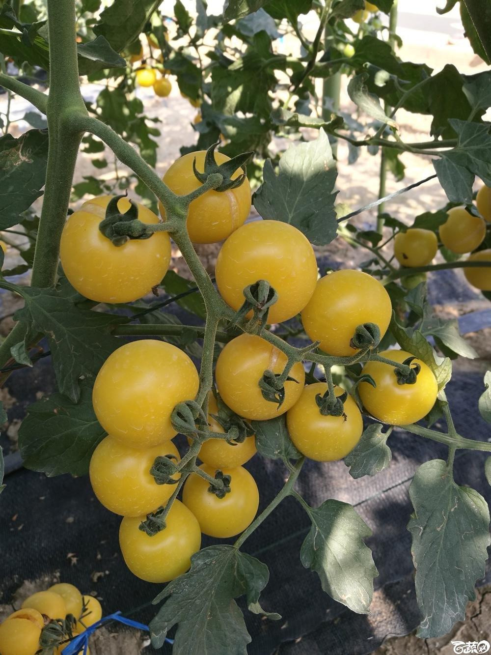 第十二届广州蔬菜展示会专家重点推荐品种,广州市农科院黄樱一号_004.jpg