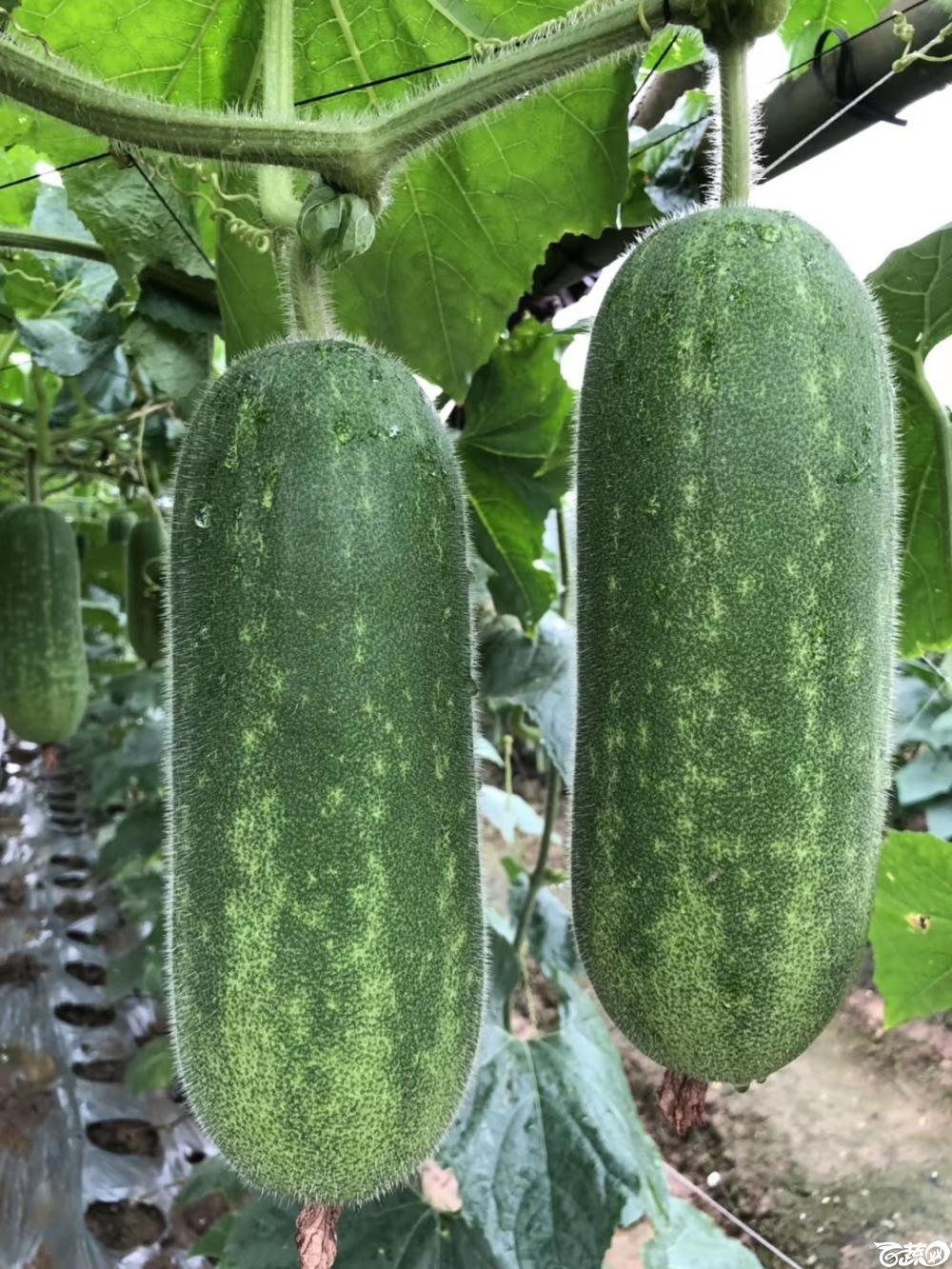 第十七届广州市蔬菜新品种展示推广会,广州阳兴种苗公司 005.JPG