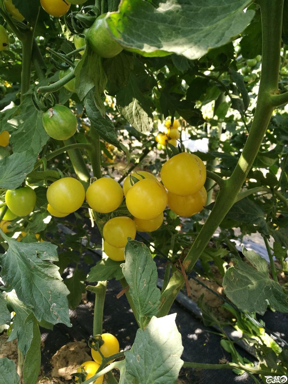 第十二届广州蔬菜展示会专家重点推荐品种,广州市农科院黄樱一号_005.jpg