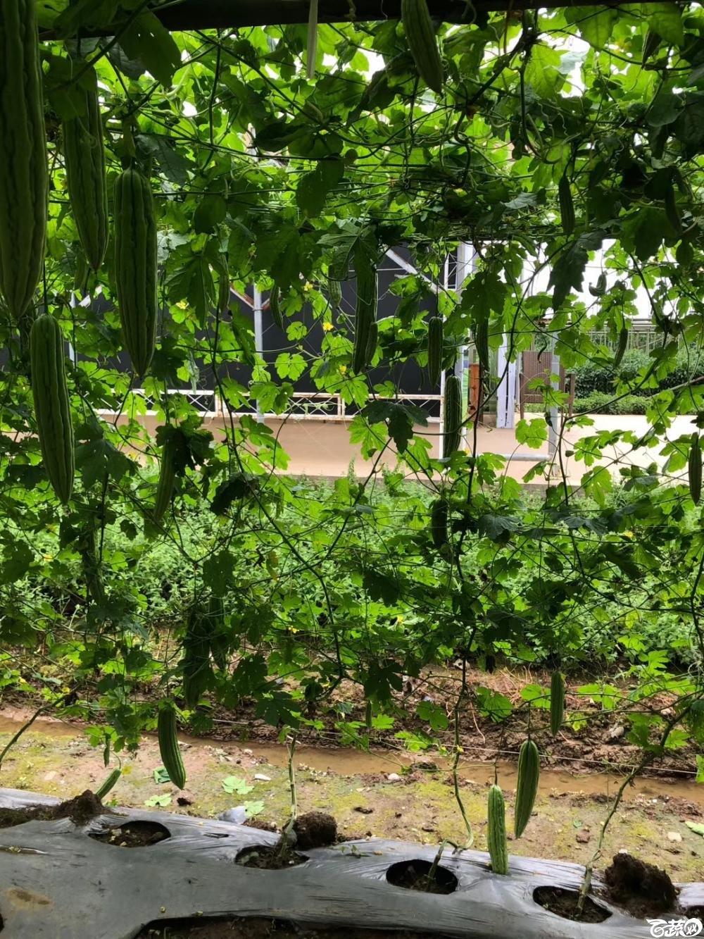 第十七届广州市蔬菜新品种展示推广会,专家重点推介品种,吉星一号苦瓜 005.JPG