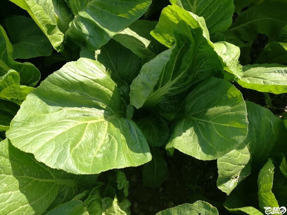 第十二届广州蔬菜展示会专家重点推荐品种,广州市农科院特选客家芥_006.jpg