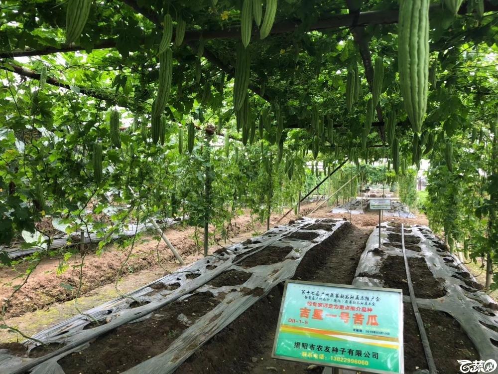 第十七届广州市蔬菜新品种展示推广会,专家重点推介品种,吉星一号苦瓜 006.JPG