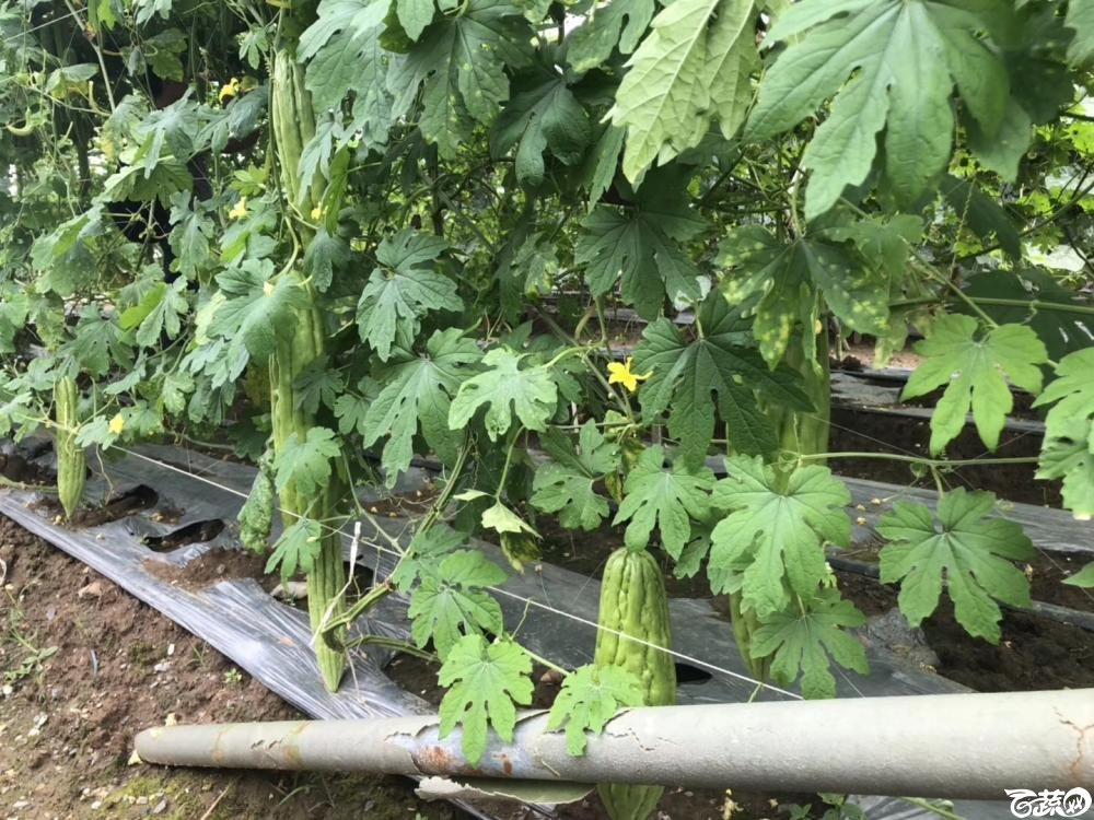 第十七届广州市蔬菜新品种展示推广会,揭阳农友种子公司成吉思苦瓜 006.JPG
