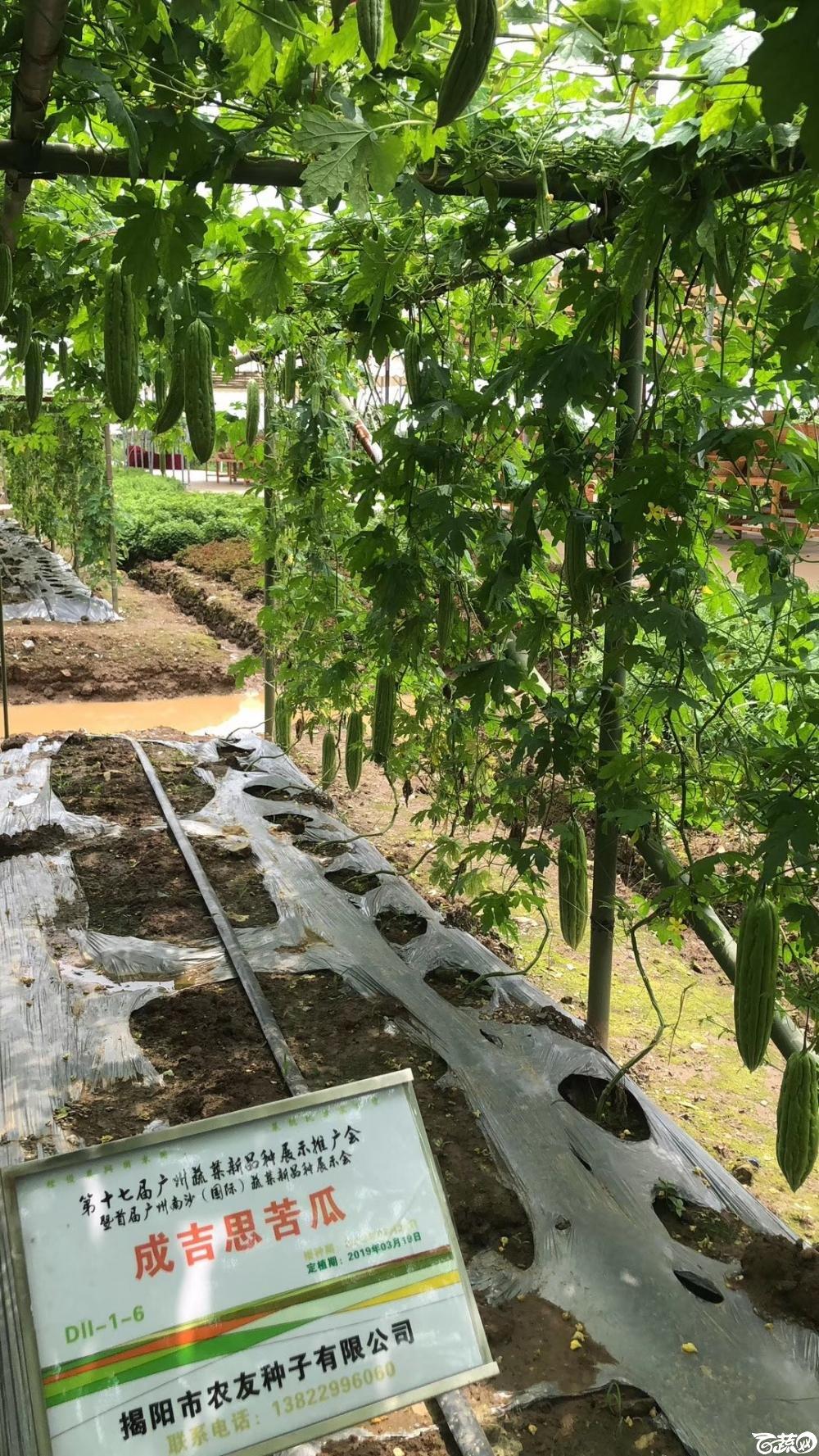 第十七届广州市蔬菜新品种展示推广会,揭阳农友种子公司成吉思苦瓜 007.JPG