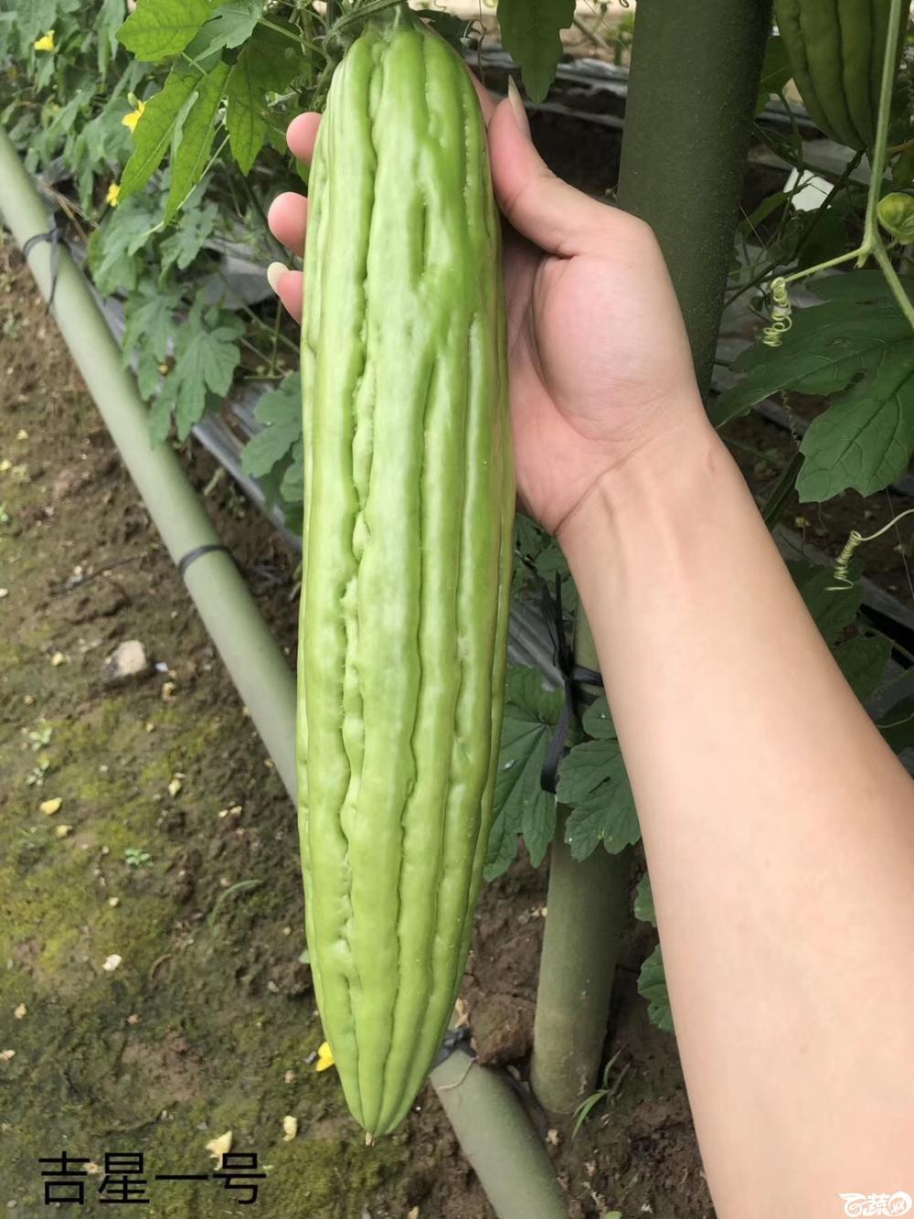 第十七届广州市蔬菜新品种展示推广会,专家重点推介品种,吉星一号苦瓜 007.JPG