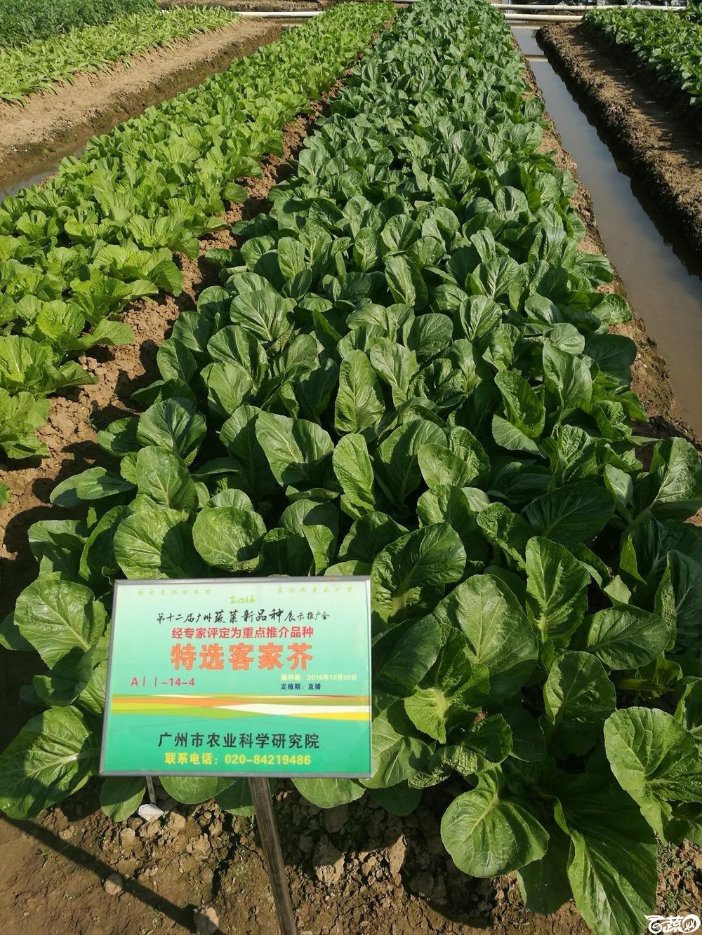第十二届广州蔬菜展示会专家重点推荐品种,广州市农科院特选客家芥_009.jpg