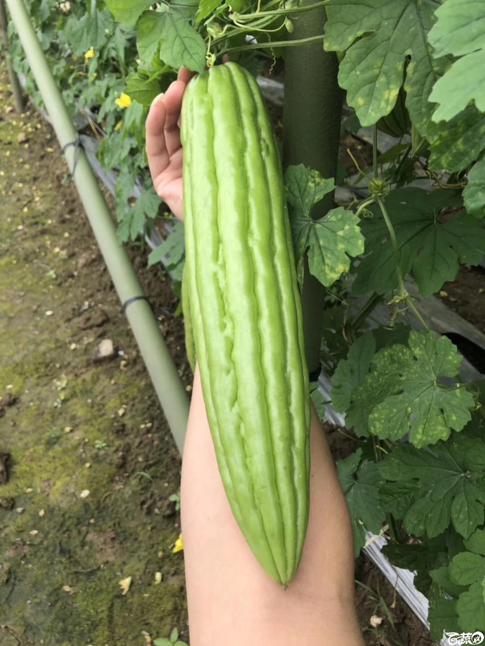 第十七届广州市蔬菜新品种展示推广会,专家重点推介品种,吉星一号苦瓜 009.JPG
