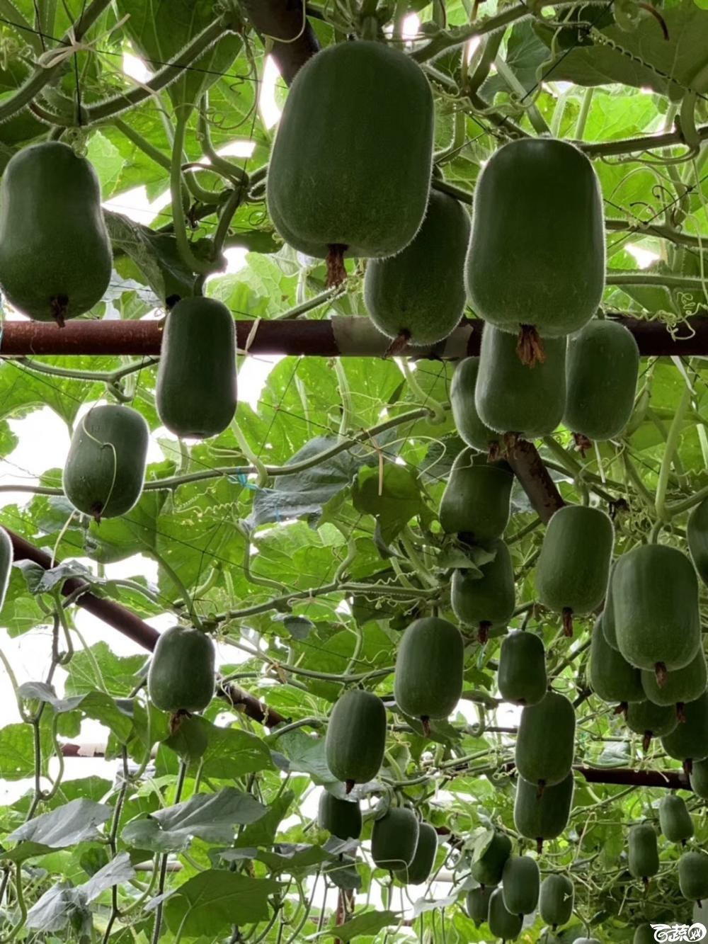 第十七届广州市蔬菜新品种展示推广会,广州亚蔬种苗公司宝贝小节瓜IMG 6808.JPG