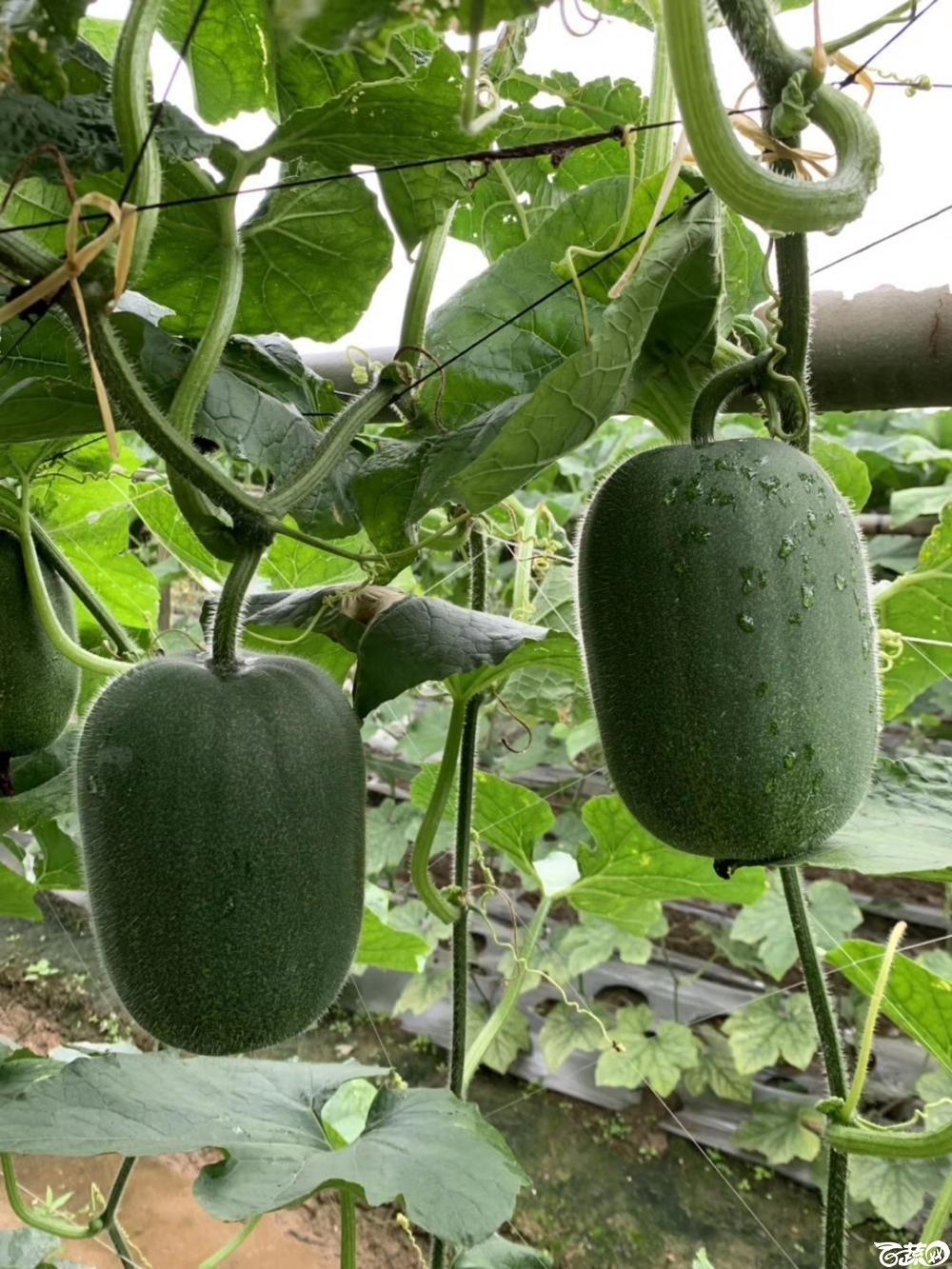 第十七届广州市蔬菜新品种展示推广会,广州亚蔬种苗公司宝贝小节瓜IMG 6809.JPG