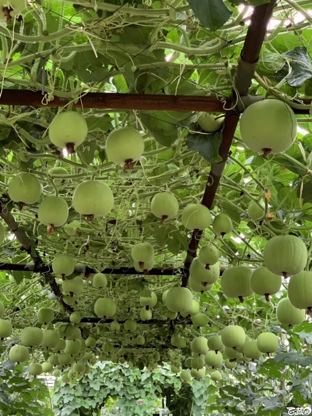 第十七届广州市蔬菜新品种展示推广会,广州亚蔬种苗公司正香冬瓜IMG 6810.JPG